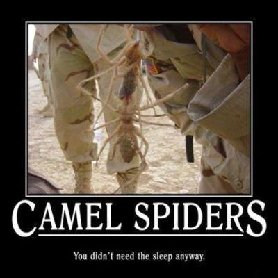 Верблюжьи пауки camel spiders 2011