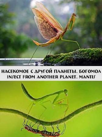Инопланетное насекомое. Богомол / Insect from another planet. Mantis (2012)